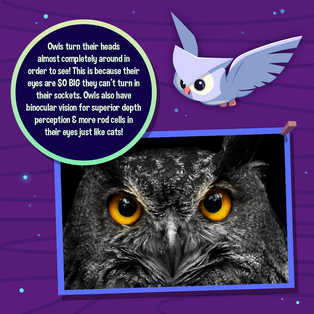 Nocturnal Animals Infographic Owls