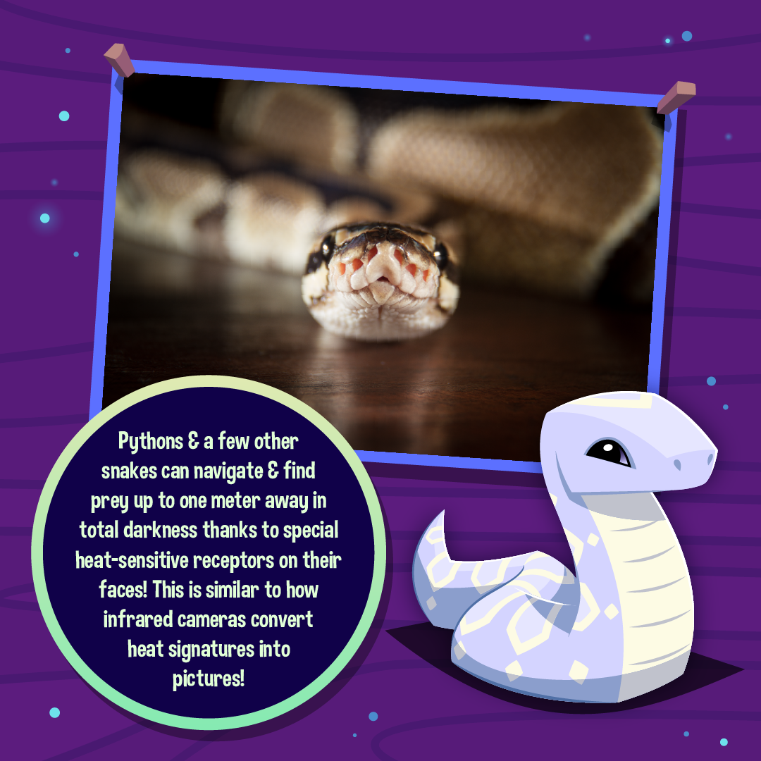 Nocturnal Animals Infographic Pythons